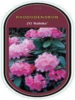 Rododendron (Y) 'Kalinka' – Rhododendron (Y) 'Kalinka'