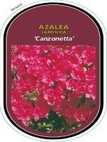 Azalea (J) 'Canzonetta' – Azalka (J) 'Canzonetta'