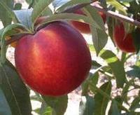 Nektarinka Venus - Prunus persica Venus