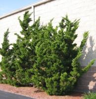Jalovec čínský 'Kaizuka' - Juniperus chinensis 'Kaizuka'