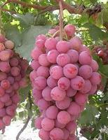 Réva vinná 'Red Globe' - Vitis vinifera 'Red Globe'