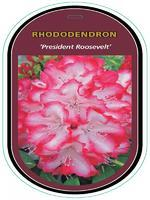 Rododendron (T) 'President Roosevelt' – Rhododendron (T) 'President Roosevelt'