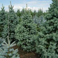 Smrk pichlavý 'Retroflexa' - Picea pungens 'Retroflexa'