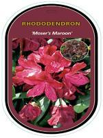 Rododendron (T) 'Moser's Maroon' – Rhododendron (T) 'Moser's Maroon'