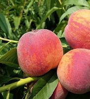 Broskvoň Krasava - Prunus Krasava