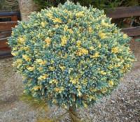 Jalovec šupinatý 'Floreant' - Juniperus squamata 'Floreant'
