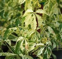 Loubinec pětilistý 'Star Shower' - Parthenocissus quinquefolia 'Star Shower'