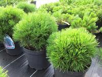 Borovice kleč 'Varella'- Pinus mugo 'Varella'