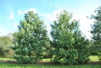Borovice himalájská - Pinus wallichiana
