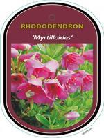 Rododendron 'Myrtilloides' – Rhododendron 'Myrtilloides'