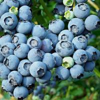 Borůvka chocholičnatá 'Blueray'  - Vaccinium corymbosum 'Blueray'