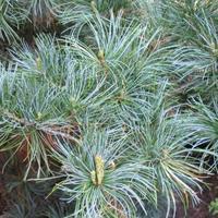Borovice drobnokvětá 'Tempelhof' - Pinus parviflora 'Tempelhof'