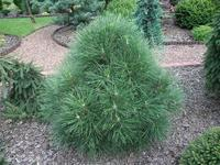 Borovice černá 'Nana Würstle' - Pinus nigra 'Nana Würstle'