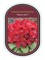 Rododendron (T) 'Cherry Kiss'® - Rhododendron (T) 'Cherry Kiss'®