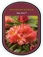Rododendron (T) 'Sun Fire' ® – Rhododendron (T) 'Sun Fire' ®