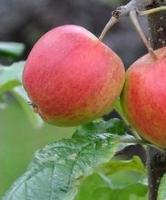 Jabloň Matčino - Malus Matčino