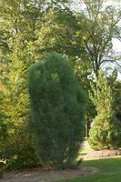 Borovice černá 'Obelisk' - Pinus nigra 'Obelisk'