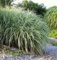 Ozdobnice čínská 'Variegatus' - Miscanthus sinensis 'Variegatus'