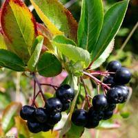 Jeřáb černý 'Nero' - Aronia prunifolia 'Nero'