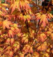 Javor dlanitolistý 'Orange Dream'-Acer palmatum 'Orange Dream'