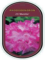 Rododendron (Y) 'Blurettia' – Rhododendron (Y) 'Blurettia'