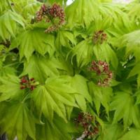 Javor shirasavanský 'Aureum' - Acer shirasawanum 'Aureum'