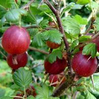 Angrešt červený 'Captivator' - Ribes uva-crispa 'Captivator' keřový