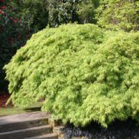 Javor dlanitolistý 'Dissectum' - Acer palmatum