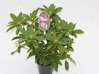 Rododendron 'Albert Schweitzer'- Rhododendron (T) 'Albert Schweitzer'