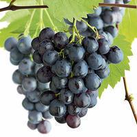 Vinná réva 'Boskoop Glory'- Vitis vinifera 'Boskoop Glory'