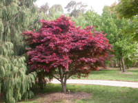 Javor dlanitolistý 'Atropurpureum' - Acer palmatum