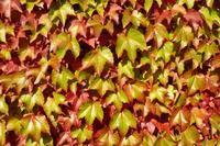 Loubinec trojlaločný 'Veitchii Boskoop' - Parthenocissus tricuspidata 'Veitchii Boskoop'