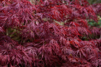 Javor dlanitolistý 'Dissectum Atropurpureum'- Acer palmat