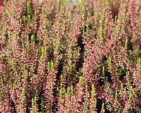 Vřes obecný 'Katja' - Calluna vulgaris 'Katja'