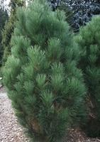 Borovice černá 'Green Rocket' - Pinus nigra 'Green Rocket'