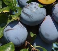 Švestka Tophit - cizosprašná - Prunus domestica Tophit - prostokořenná