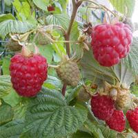 Maliník obecný 'Glen Ample' - Rubus idaeus 'Glen Ample'