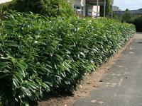 Bobkovišeň lékařská Herbergii - Prunus laurocerasus Herbergii