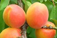 Meruňka Harcot - Prunus