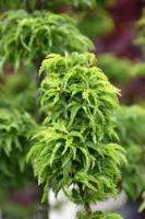 Javor dlanitolistý 'Crispifolium' - Acer palmatum