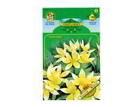 Tulipán botanický DASYS 8ks