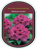 Rododendron (T) 'Madam Fortier' - Rhododendron (T) 'Madam Fortier'