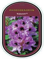 Rododendron (T) 'Kabarett' - Rhododendron (T) 'Kabarett'