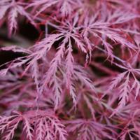 Javor dlanitolistý 'Garnet'-Acer palmatum 'Garnet'