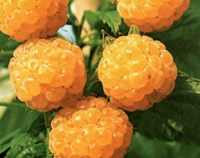 Maliník obecný 'Fallgold' - Rubus idaeus 'Fallgold'