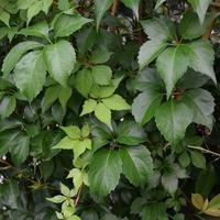 Loubinec pětilistý 'Engelmannii' - Parthenocissus quinquefolia 'Engelmannii'