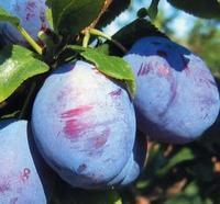 Švestka Katinka - samosprašná - Prunus domestica Katinka - prostokořenná