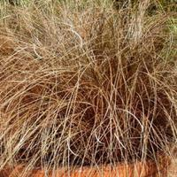 Ostřice chocholatá 'Bronco' - Carex comans 'Bronco