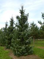 Smrk omorika - Picea omorika