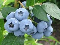 Borůvka chocholičnatá 'Denise Blue' - Vaccinium corymbosum 'Denise Blue'